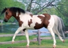 CPS_Two_Toned_Diamond_-_BK_-_bay_tobiano_paint_QH_mare.jpg