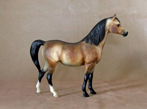 CHAMPION 3/4 Arabian, 1/4 Morgan mare, sooty dappled buckskin